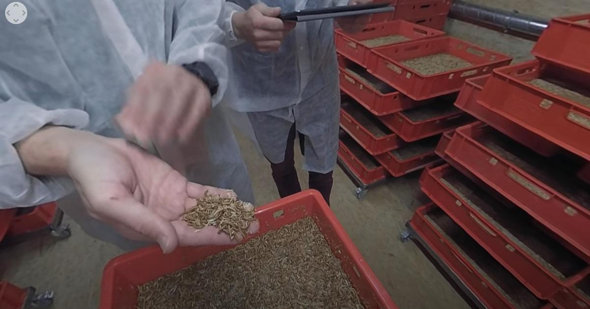 Zu Besuch auf der Mehlwurmfarm: Im 360-Grad-Video zeigt Essento, wo und wie die Mehlwürmer für ihren Insektenburger produziert werden.